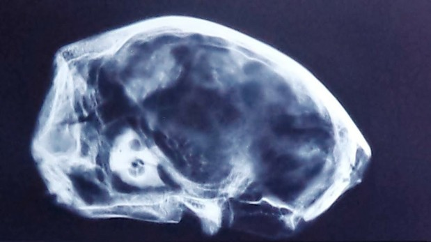 Analyses IRM d'un des crânes de Paùl Ronceros prouveraient que nous sommes face à un spécimen inconnu et non fabriqué _   Selon Marcelo Larin ( 1ère vidéo serait site «Tombe» «Momies Nasca» ) – Jaime Maussan assure que «les corps momifiés ressemblent à alien» et ont été «enterrés dans des lieux sacrés»,   RT _ 18_07_2017.